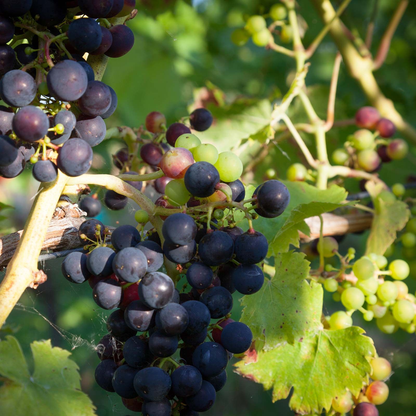 Grapes growing on vines at Brickhouse Vineyard in Devon, England.